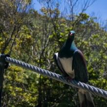 Kereru, pigeon de la Nouvelle-Zélande