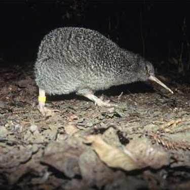 little-spotted-kiwi-tui-de-roy-565